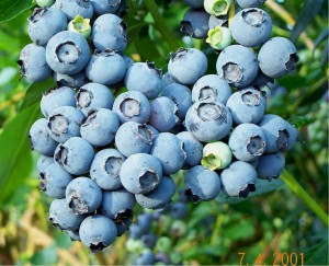 Food - Blueberry_Cluster
