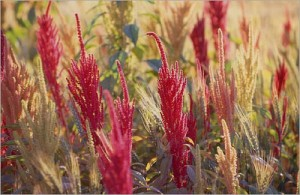 food - amaranth flower