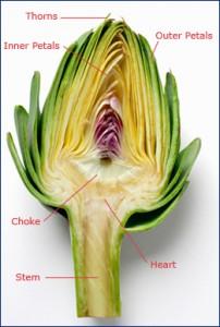 food - artichokes_anatomy