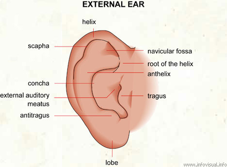 anatomy of an ear - defeat diabetes foundation, Sphenoid