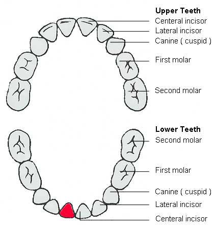Names Of Teeth
