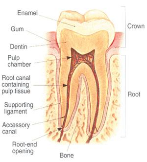 parts of a tooth diagram | Diarra
