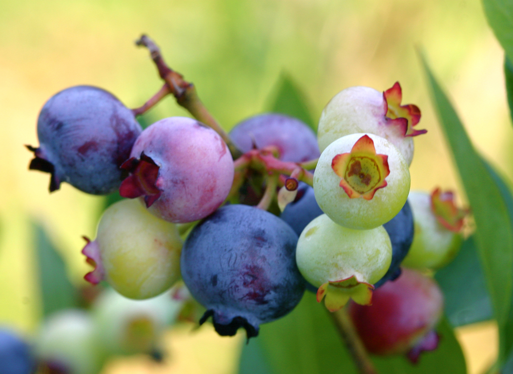 Blueberries and healthy option for diabetics